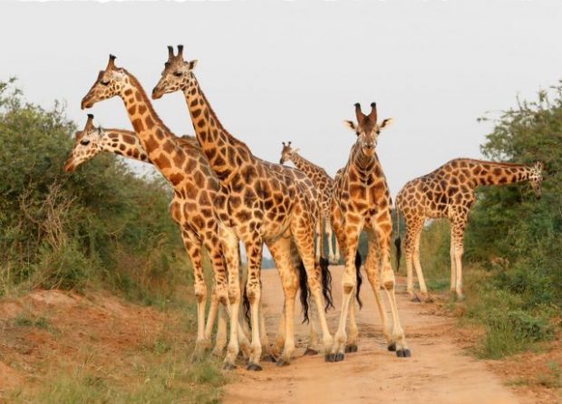 An image of a herd of giraffes.