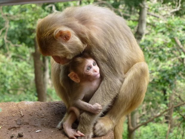 An image of a mother monkey and her baby in the wild.