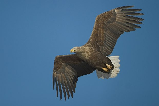 An image of a white-tailed eagle in the sky.