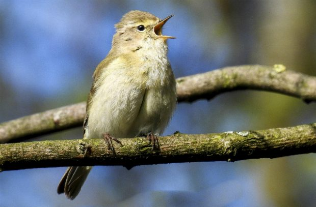 A chiffchaff in a tree