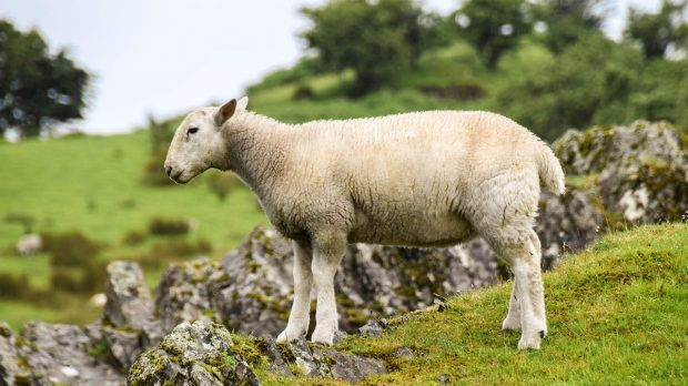 a white sheep in a field