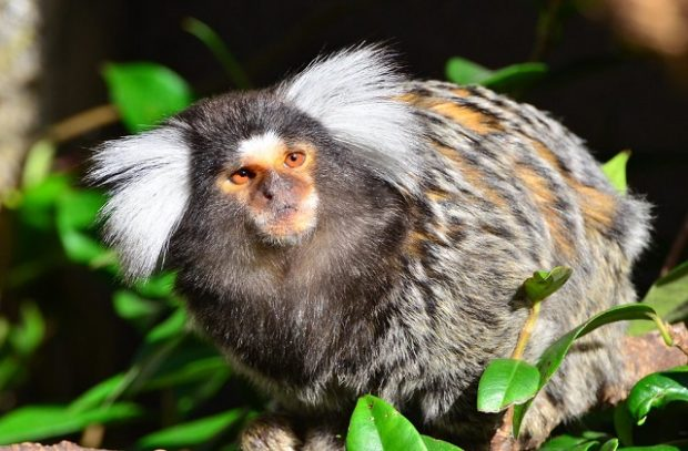 Common marmoset on branch looking into camera lens
