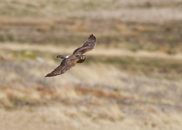 A hen harrier flying with a satellite tracking device attached