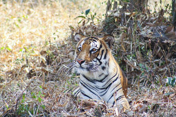 A Bengal tiger sitting in the grass