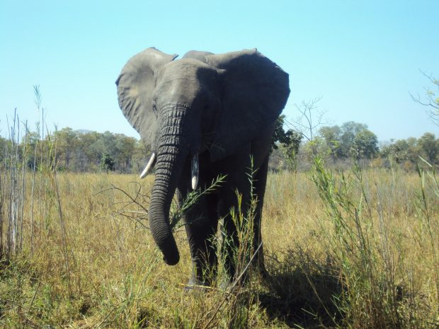 An image of an Elephant in Malawi