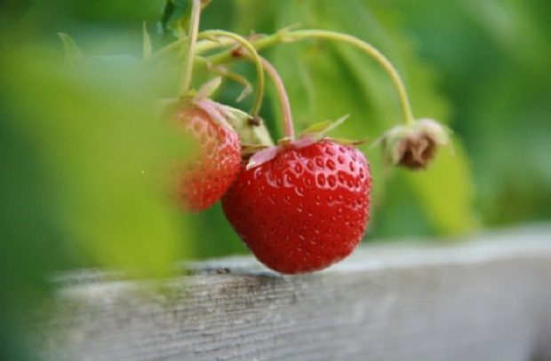 An image of a strawberry plant.