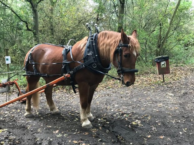 A brown shire horse standing in the woods