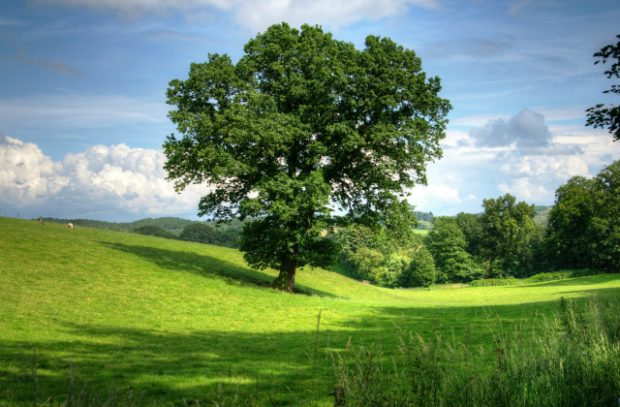 A large tree standing in a wide open green field.