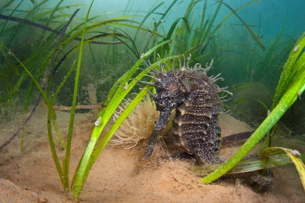 An image of a spiny Seahorse in seagrass