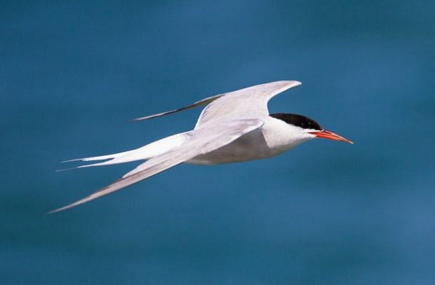 A close-up image of a Common Tern flying over a coastal area.
