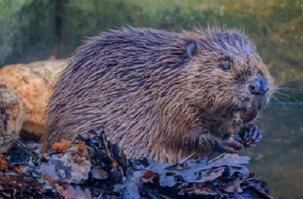 A beaver sits on a pile of wet leaves in a river