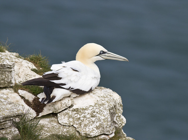 An image of a Northern Gannet sat on a rock