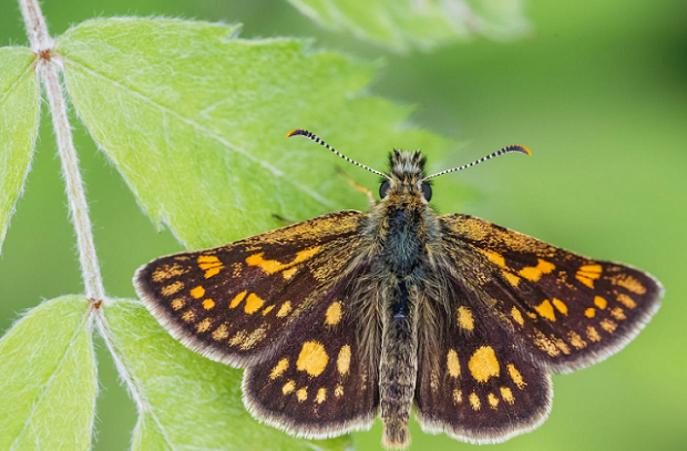 A Chequered Skipper butterfly