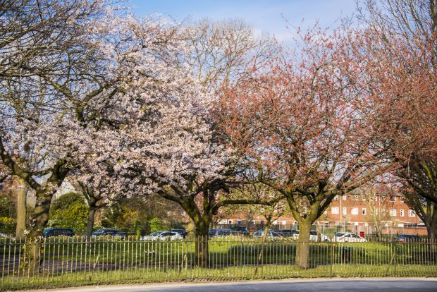 image of blossom trees on roadside behind metal fence