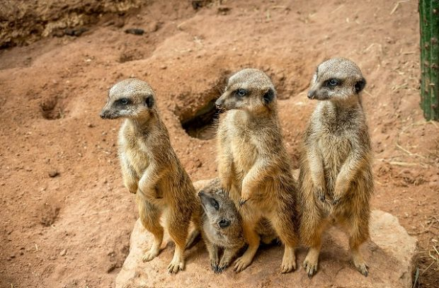 A family of 4 meerkats standing up in a row