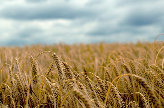 An image of a barley field