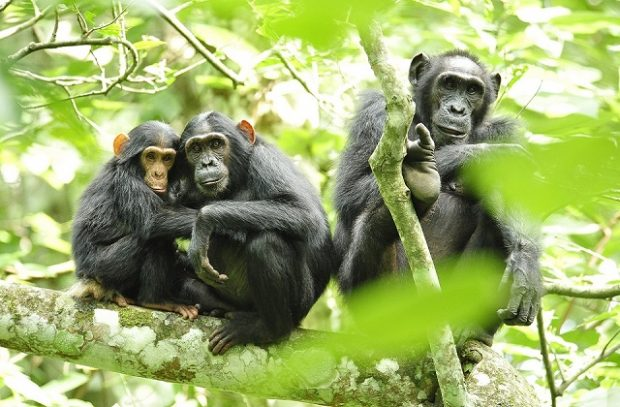 Chimpanzees in Uganda Credit Julie Larsen Maher Wildlife Conservation Society