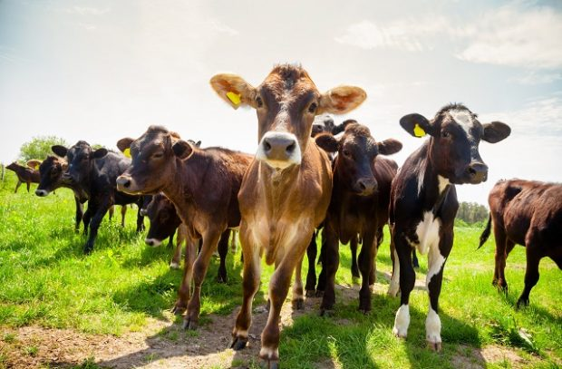 An image of Ayreshire calves at a pasture in rural Sussex, Southern England, UK