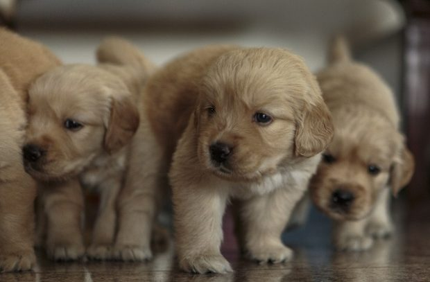 An image of Golden Retriever Puppies