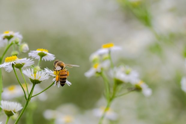 A honeybee pollinates a large daisy in the foreground, with several other large daisies in the background of the image.
