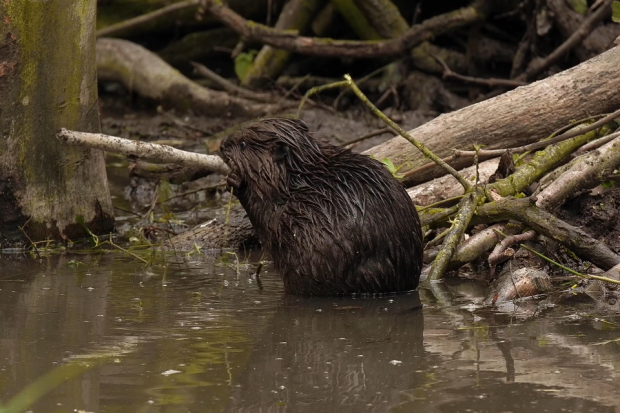 One of the beaver kits on the estate in Essex is pictured, nibbling on a twig sat in a large puddle in a woodland. The beaver is very wet and it appears to be raining.