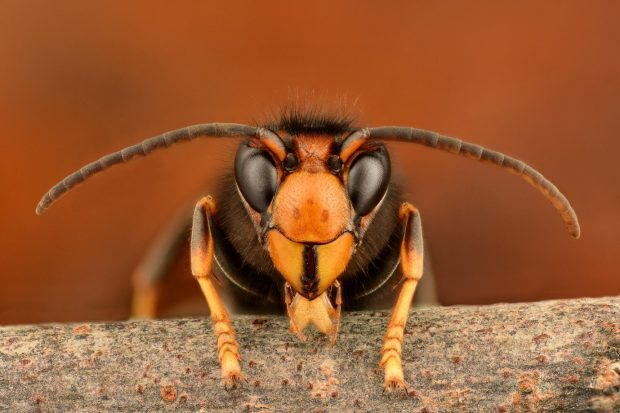 A macro photo of an Asian hornet, the photo is head on with a clear view of the hornet's eyes, antenna and front legs.
