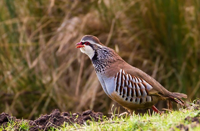Red legged partridge. Credit NE