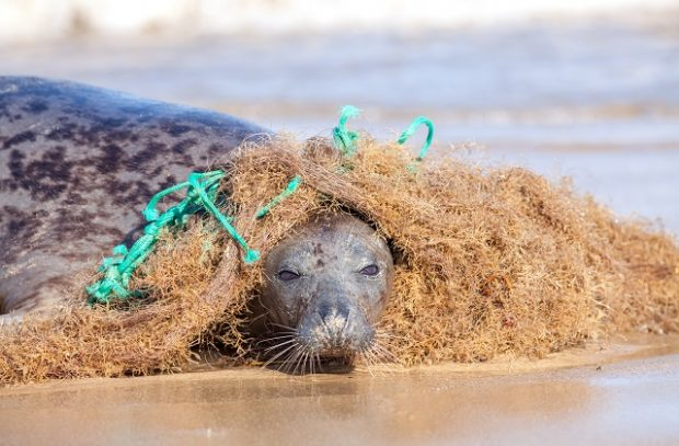 Plastic marine pollution. Seal caught in tangled nylon fishing net. This curious wild animal was attracted to the rope and net and enjoyed playing with it but did come into difficulty as it wrapped around the body.