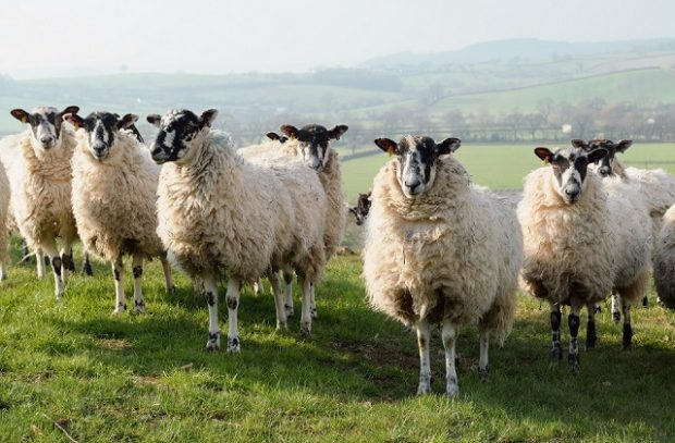 Sheep on a farmland in East Devon, England