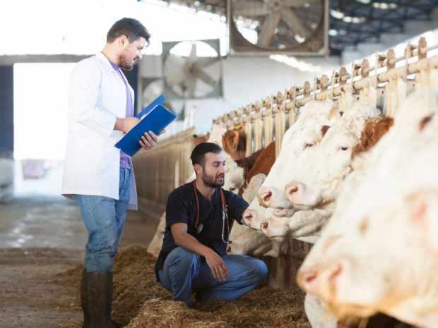 Image of a vet inspecting cattle