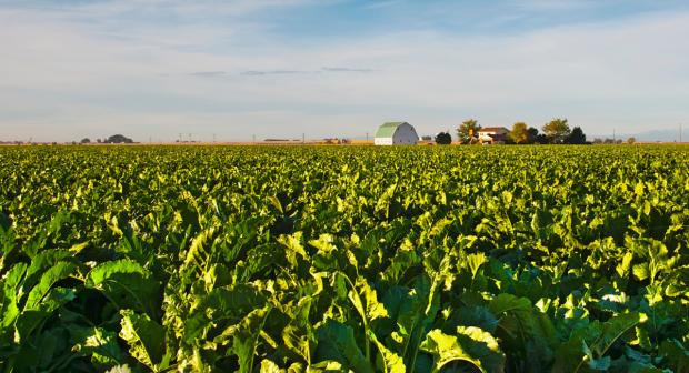 Sugar beet in a field