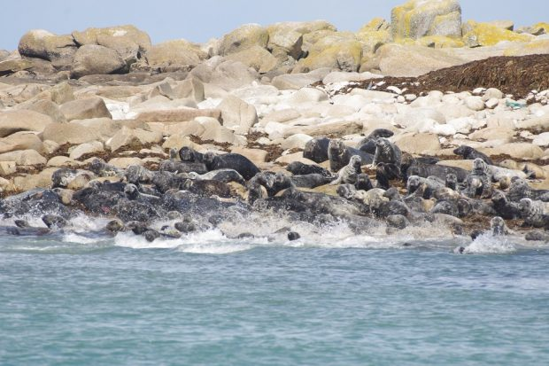 A group of seals stampeding rocks
