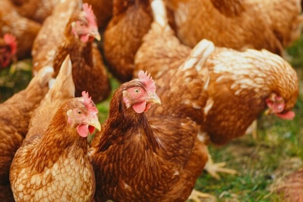 An image of hens eating in a field