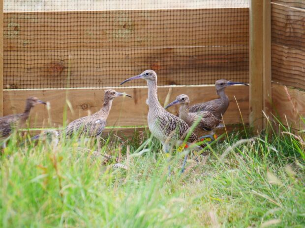 HRH The Prince of Wales and NE Chair, Tony Juniper, attend the release of Eurasian curlews at Sandringham Estate.
