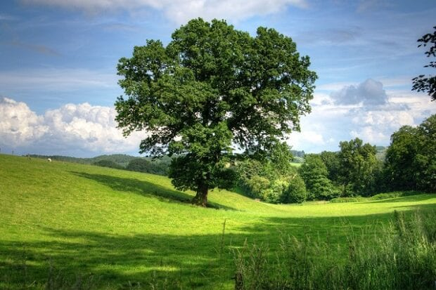 Lone tree in a green field on a sunny day