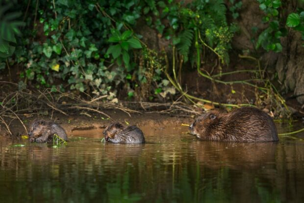 An image of River Otter beavers